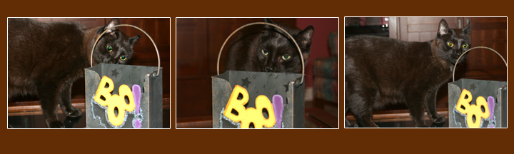 "Theo the Cat smelling a Halloween ""Boo"" bag brought in from outside"